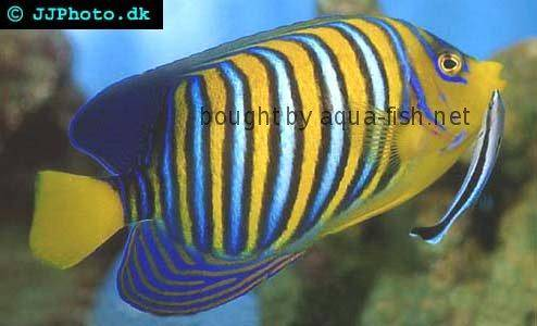 Regal Angelfish picture