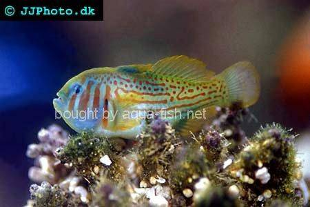 diamond watchman goby. eat shrimp. diamond goby.