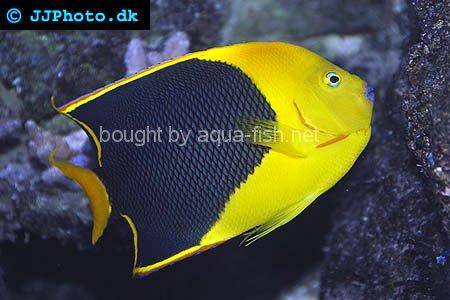 Rock Beauty Angelfish, picture number 2