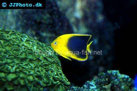 Rock Beauty Angelfish, picture number 3