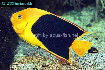 Rock Beauty Angelfish, picture number 4