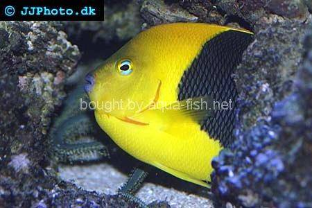 Rock Beauty Angelfish, picture number 6