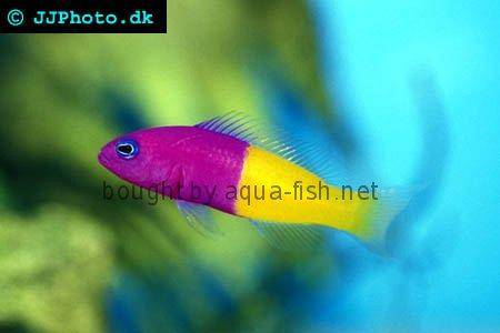 Royal Dottyback picture
