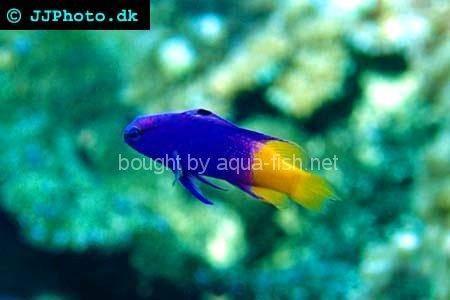Royal gramma for Good beginner fish