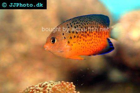 Rusty Angelfish, picture no. 1