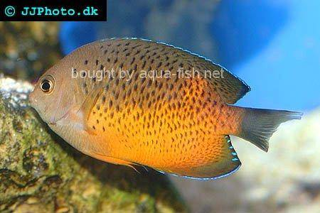 Rusty Angelfish, picture no. 2