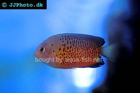 Rusty Angelfish, picture no. 3