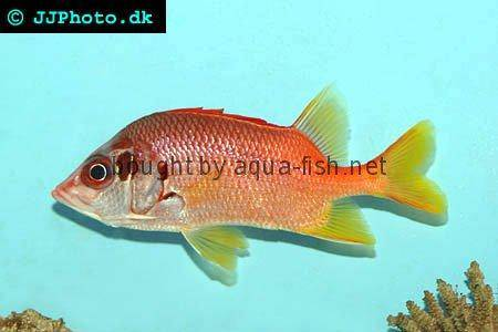 Sabre Squirrelfish, picture no. 1