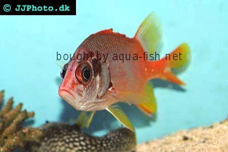 Sabre Squirrelfish, picture no. 2
