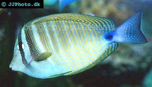 Sailfin Tang picture no. 1