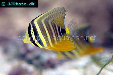 Sailfin Tang picture no. 2