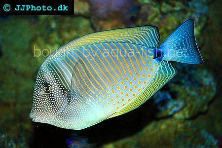 Sailfin Tang picture no. 3