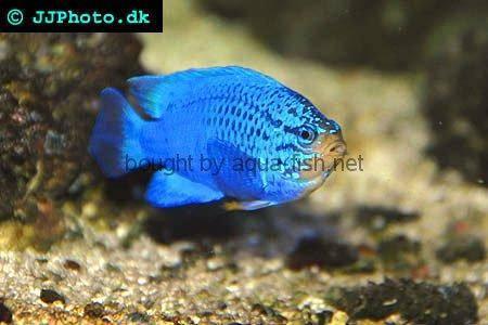 Aggressive saltwater fish for Non aggressive fish