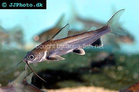 Saltwater Spotted Catfish Shark catfish