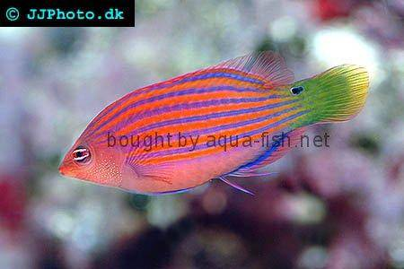 Six Line Wrasse picture 1