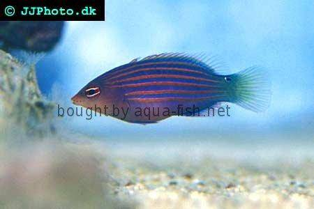 Six Line Wrasse picture 2