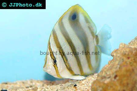Sixspine Butterflyfish picture