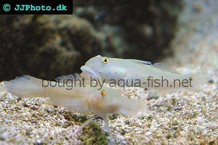 Sixspot Goby picture 1