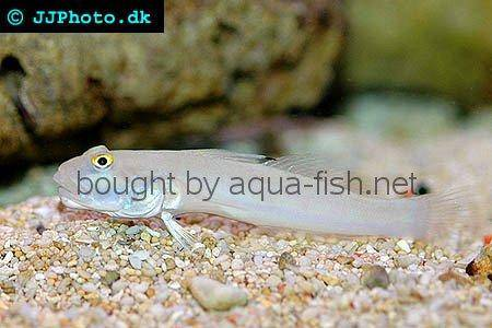 Sixspot Goby picture 2