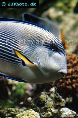 Sohal Surgeonfish, picture number 1