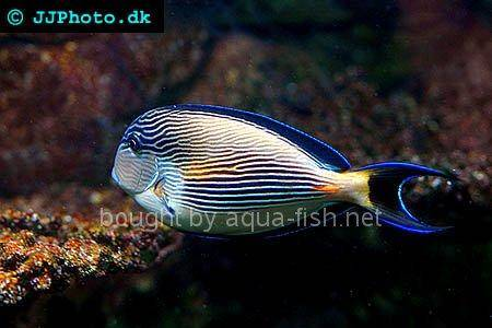 Sohal Surgeonfish, picture number 2