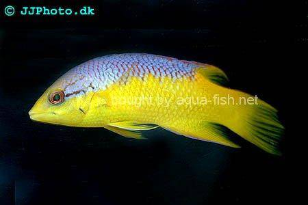 Spanish Hogfish picture no. 2