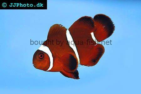 Spinecheek Anemonefish picture 1