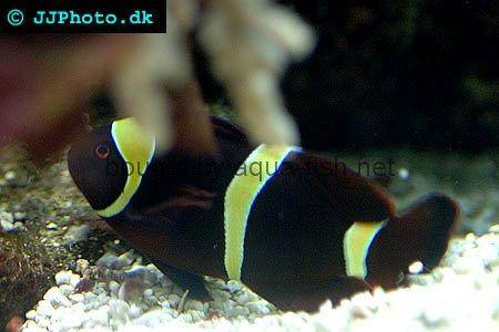 Spinecheek Anemonefish picture 2