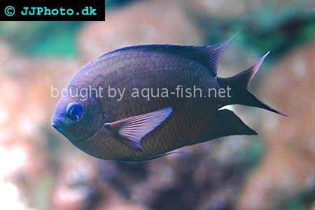 Spiny Chromis picture