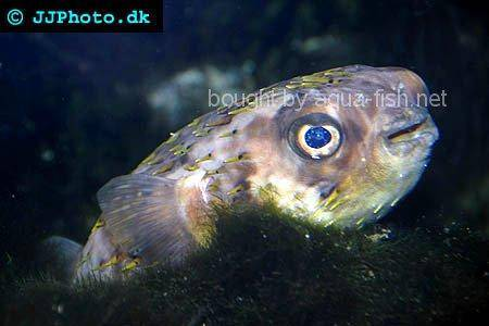 Spot-Fin Porcupinefish picture no. 1
