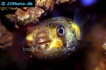 Spot-Fin Porcupinefish picture no. 4