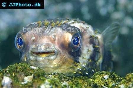 Spot-Fin Porcupinefish picture no. 5