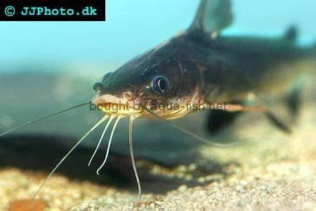 Spotfin Sea Catfish, picture no. 1