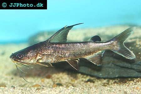 ... felis hardhead sea catfish sea catfish arius berneyi berney s catfish