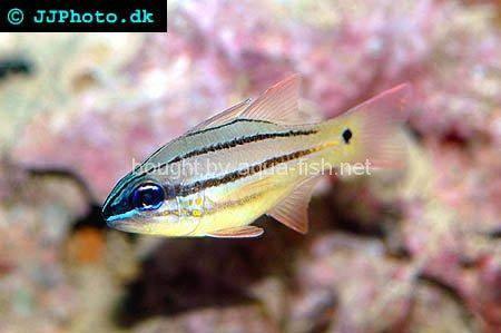 Orande striped cardinal fish