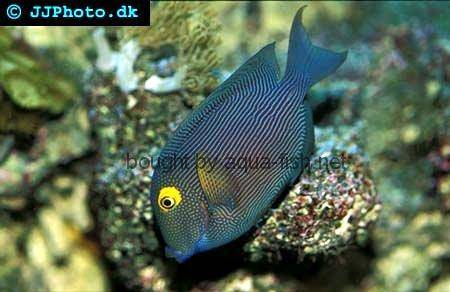 Spotted Surgeonfish, picture no. 1