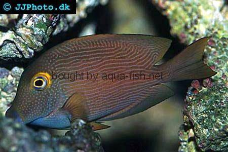 Spotted Surgeonfish, picture no. 2