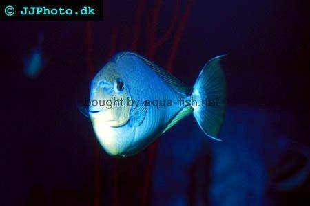 Spotted Unicornfish, picture 1