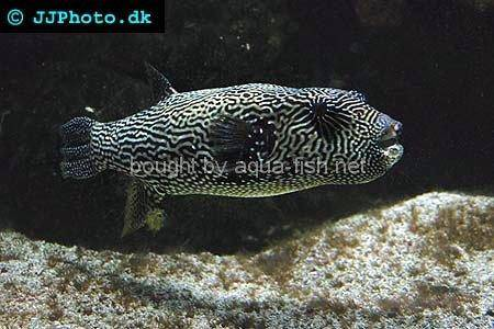 Starry Pufferfish, adult - picture