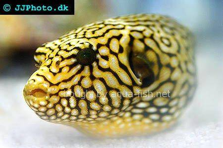 Starry Pufferfish, juvenile - picture