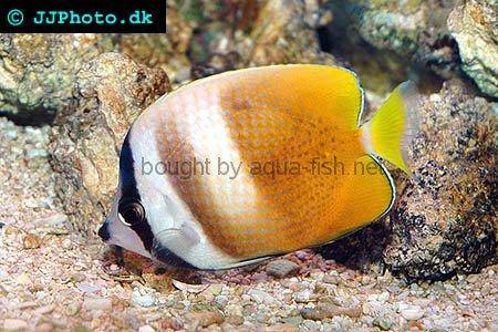 Sunburst Butterflyfish picture