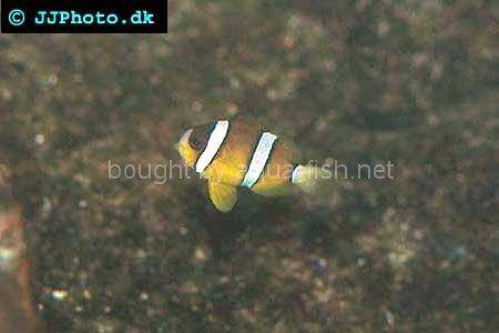 Three-Banded Anemonefish picture