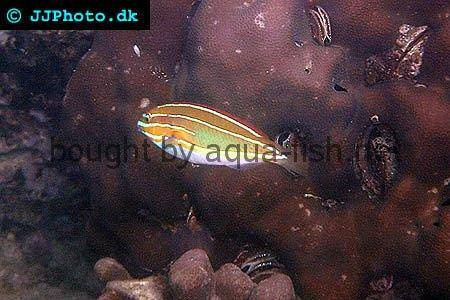 Three-Lined Rainbowfish picture 1