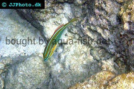 Three-Lined Rainbowfish picture 2