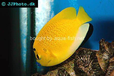 Three-Spot Angelfish, picture no. 1