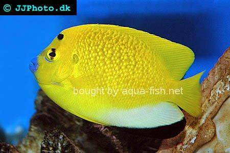 Three-Spot Angelfish, picture no. 2