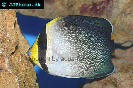Vermiculated Angelfish, picture no. 1