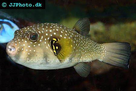 White-Spotted Puffer, picture no. 1