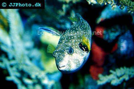 White-Spotted Puffer, picture no. 2