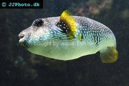 White-Spotted Puffer, picture no. 3
